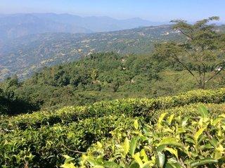 181108_ジュンチヤバリ茶畑.jpg